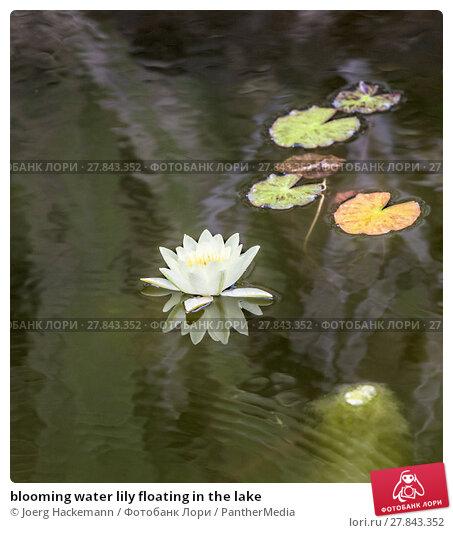 Купить «blooming water lily floating in the lake», фото № 27843352, снято 23 марта 2019 г. (c) PantherMedia / Фотобанк Лори
