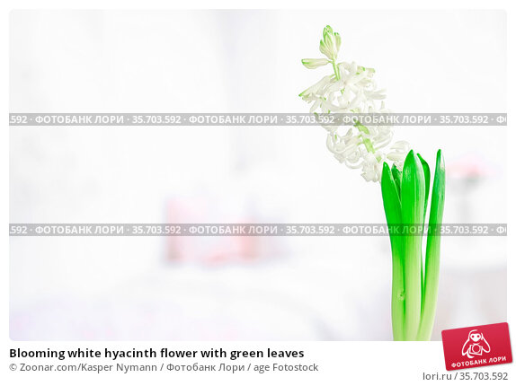 Blooming white hyacinth flower with green leaves. Стоковое фото, фотограф Zoonar.com/Kasper Nymann / age Fotostock / Фотобанк Лори