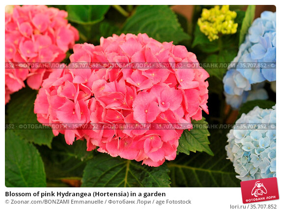 Blossom of pink Hydrangea (Hortensia) in a garden. Стоковое фото, фотограф Zoonar.com/BONZAMI Emmanuelle / age Fotostock / Фотобанк Лори