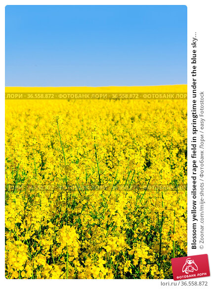 Blossom yellow oilseed rape field in springtime under the blue sky... Стоковое фото, фотограф Zoonar.com/mije-shots / easy Fotostock / Фотобанк Лори