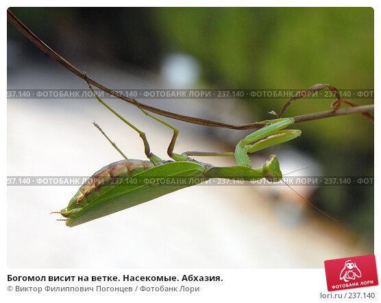 Богомол висит на ветке. Насекомые. Абхазия., фото № 237140, снято 1 сентября 2006 г. (c) Виктор Филиппович Погонцев / Фотобанк Лори