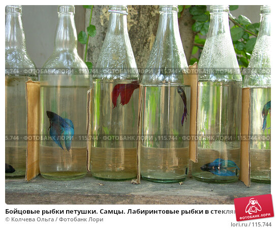 Бойцовые рыбки петушки. Самцы. Лабиринтовые рыбки в стеклянных бутылках, фото № 115744, снято 28 марта 2007 г. (c) Колчева Ольга / Фотобанк Лори