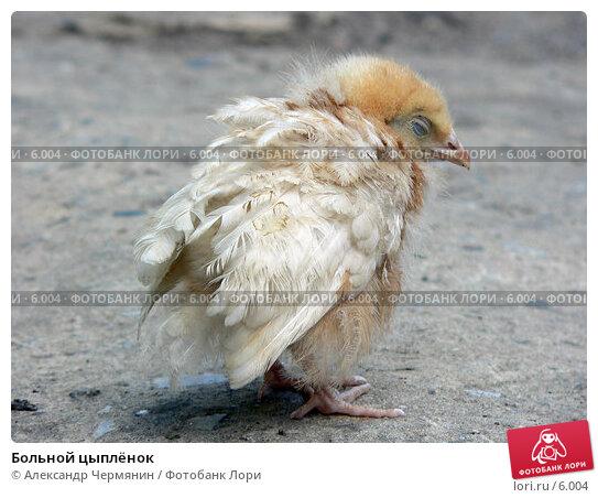 Больной цыплёнок, фото № 6004, снято 3 июня 2005 г. (c) Александр Чермянин / Фотобанк Лори