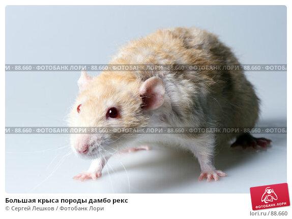 Купить «Большая крыса породы дамбо рекс», фото № 88660, снято 23 сентября 2007 г. (c) Сергей Лешков / Фотобанк Лори