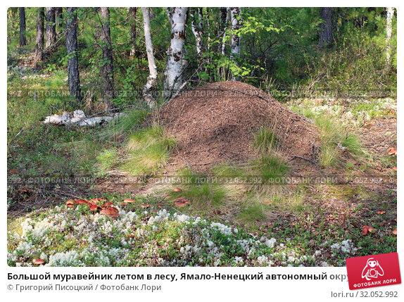 Большой муравейник летом в лесу, Ямало-Ненецкий автономный округ. Стоковое фото, фотограф Григорий Писоцкий / Фотобанк Лори