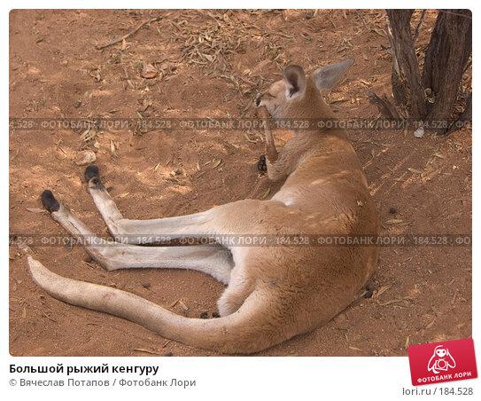 Большой рыжий кенгуру, фото № 184528, снято 13 октября 2006 г. (c) Вячеслав Потапов / Фотобанк Лори