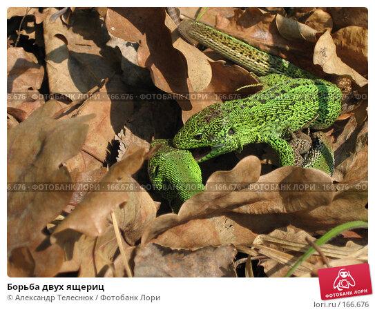 Борьба двух ящериц, фото № 166676, снято 26 октября 2016 г. (c) Александр Телеснюк / Фотобанк Лори