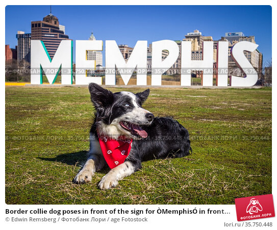 Border collie dog poses in front of the sign for ÒMemphisÓ in front... Стоковое фото, фотограф Edwin Remsberg / age Fotostock / Фотобанк Лори