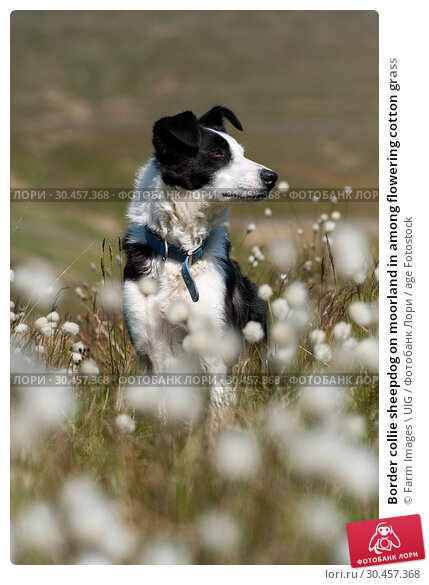 Border collie sheepdog on moorland in among flowering cotton grass. Стоковое фото, фотограф Farm Images \ UIG / age Fotostock / Фотобанк Лори