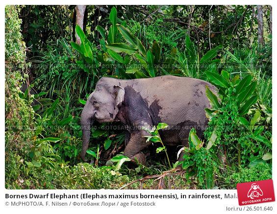 Bornes Dwarf Elephant (Elephas maximus borneensis), in rainforest, Malaysia, Borneo, Sabah, Kinabatangan River. Стоковое фото, фотограф McPHOTO/A. F. Nilsen / age Fotostock / Фотобанк Лори