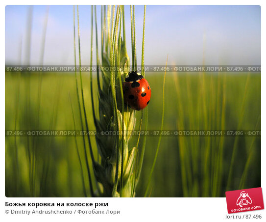 Божья коровка на колоске ржи, фото № 87496, снято 3 июня 2006 г. (c) Dmitriy Andrushchenko / Фотобанк Лори