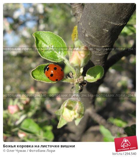 Божья коровка на листочке вишни, фото № 294540, снято 22 апреля 2008 г. (c) Олег Чумак / Фотобанк Лори
