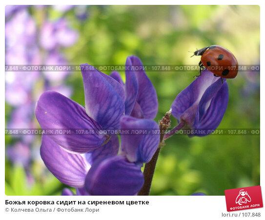 Божья коровка сидит на сиреневом цветке, фото № 107848, снято 17 июня 2006 г. (c) Колчева Ольга / Фотобанк Лори