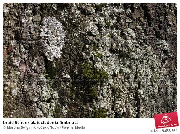 Купить «braid lichens plait cladonia fimbriata», фото № 9658564, снято 20 марта 2019 г. (c) PantherMedia / Фотобанк Лори