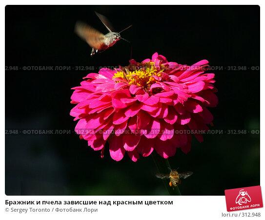 Бражник и пчела зависшие над красным цветком, фото № 312948, снято 7 января 2004 г. (c) Sergey Toronto / Фотобанк Лори