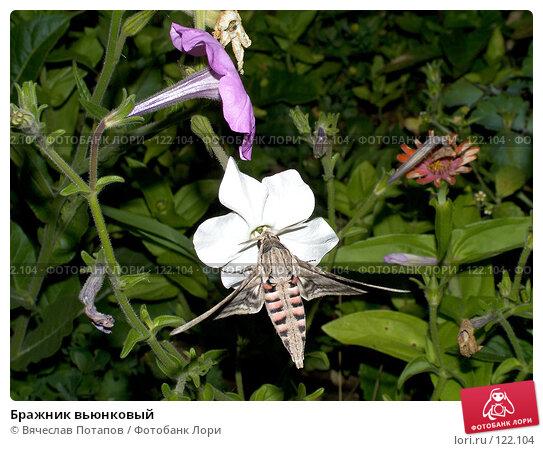 Купить «Бражник вьюнковый», фото № 122104, снято 5 августа 2007 г. (c) Вячеслав Потапов / Фотобанк Лори