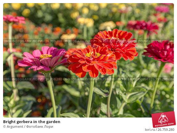 Bright gerbera in the garden, фото № 26759280, снято 3 сентября 2014 г. (c) Argument / Фотобанк Лори