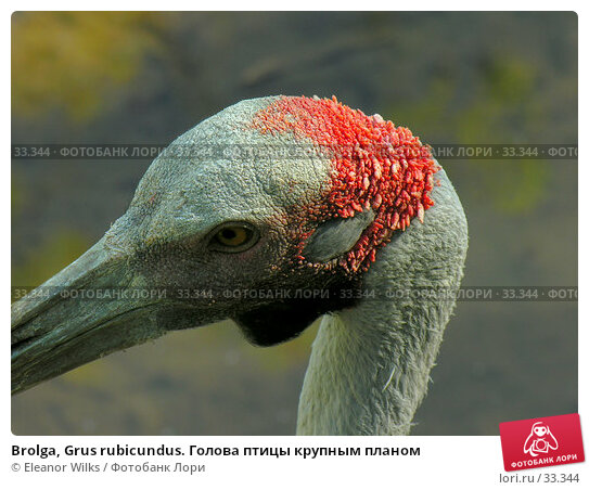 Brolga, Grus rubicundus. Голова птицы крупным планом, фото № 33344, снято 19 июня 2006 г. (c) Eleanor Wilks / Фотобанк Лори
