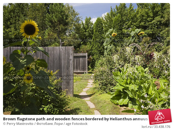Купить «Brown flagstone path and wooden fences bordered by Helianthus annuus - Sunflowers in backyard garden in summer, Jardin du Grand Portage garden, Saint-Didace...», фото № 33438176, снято 19 августа 2012 г. (c) age Fotostock / Фотобанк Лори