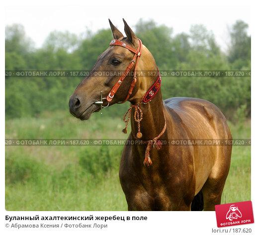 Буланный ахалтекинский жеребец в поле, фото № 187620, снято 30 июня 2007 г. (c) Абрамова Ксения / Фотобанк Лори