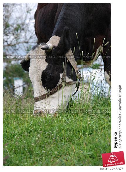 Буренка, фото № 248376, снято 10 июня 2007 г. (c) Надежда Келембет / Фотобанк Лори