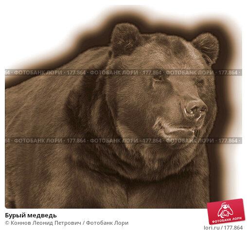 Бурый медведь, фото № 177864, снято 16 января 2017 г. (c) Коннов Леонид Петрович / Фотобанк Лори