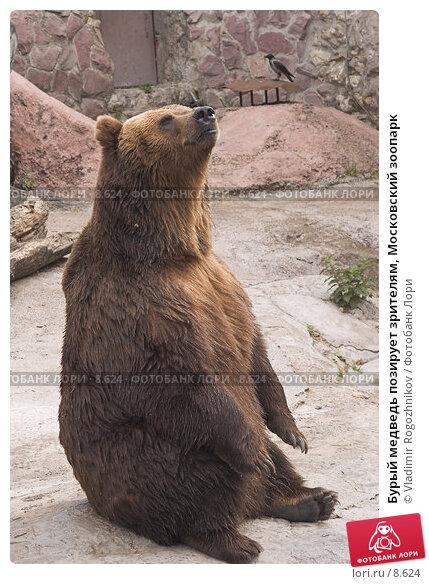 Бурый медведь позирует зрителям, Московский зоопарк, фото № 8624, снято 28 мая 2005 г. (c) Vladimir Rogozhnikov / Фотобанк Лори