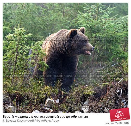 Купить «Бурый медведь в естественной среде обитания», фото № 5803840, снято 27 октября 2013 г. (c) Эдуард Кислинский / Фотобанк Лори