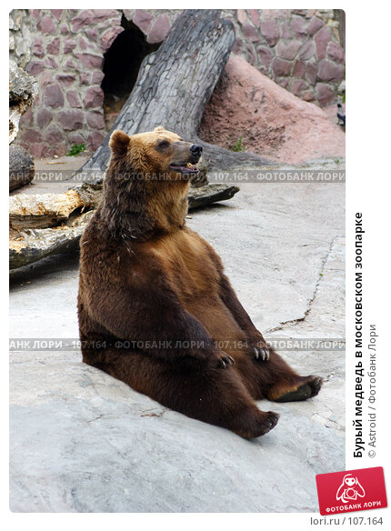 Бурый медведь в московском зоопарке, фото № 107164, снято 24 июня 2005 г. (c) Astroid / Фотобанк Лори
