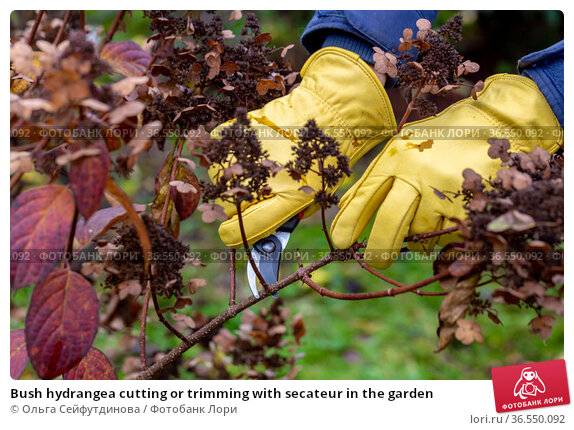 Bush hydrangea cutting or trimming with secateur in the garden. Стоковое фото, фотограф Ольга Сейфутдинова / Фотобанк Лори