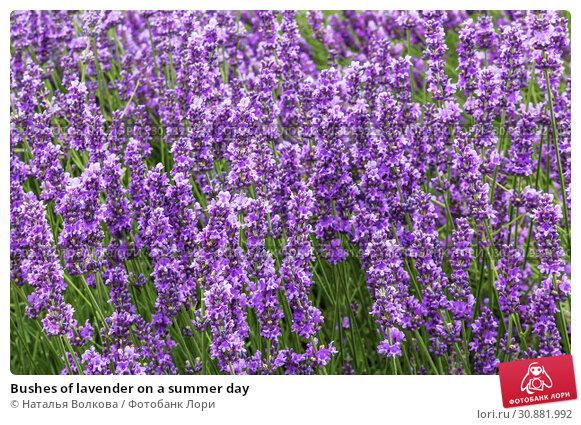 Купить «Bushes of lavender on a summer day», фото № 30881992, снято 25 июня 2015 г. (c) Наталья Волкова / Фотобанк Лори