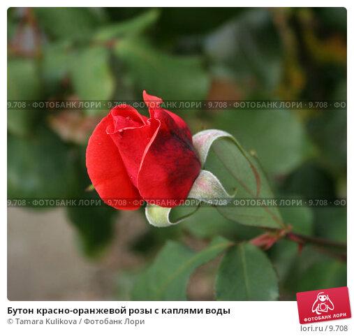 Бутон красно-оранжевой розы с каплями воды, фото № 9708, снято 23 сентября 2006 г. (c) Tamara Kulikova / Фотобанк Лори