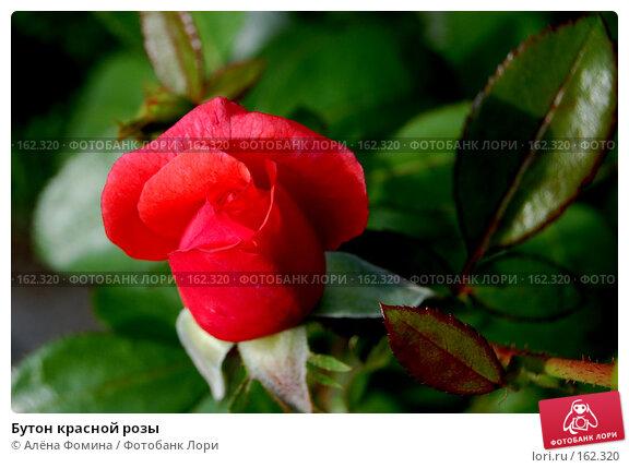 Купить «Бутон красной розы», фото № 162320, снято 7 августа 2006 г. (c) Алёна Фомина / Фотобанк Лори