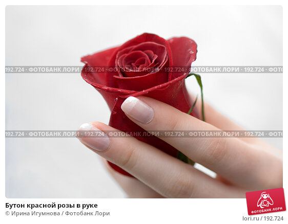 Бутон красной розы в руке, фото № 192724, снято 3 января 2008 г. (c) Ирина Игумнова / Фотобанк Лори