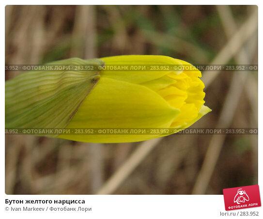 Купить «Бутон желтого нарцисса», фото № 283952, снято 11 мая 2008 г. (c) Ivan Markeev / Фотобанк Лори