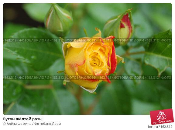 Бутон жёлтой розы, фото № 162312, снято 25 мая 2006 г. (c) Алёна Фомина / Фотобанк Лори