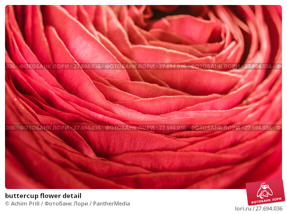 Купить «buttercup flower detail», фото № 27694036, снято 23 апреля 2019 г. (c) PantherMedia / Фотобанк Лори