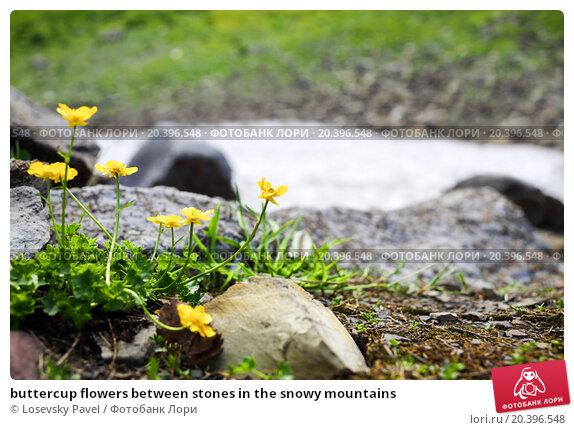 Купить «buttercup flowers between stones in the snowy mountains», фото № 20396548, снято 2 августа 2014 г. (c) Losevsky Pavel / Фотобанк Лори
