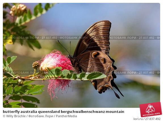 Купить «butterfly australia queensland bergschwalbenschwanz mountain», фото № 27837492, снято 20 октября 2018 г. (c) PantherMedia / Фотобанк Лори