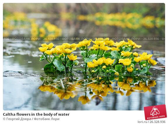 Caltha flowers in the body of water, фото № 26328936, снято 8 мая 2017 г. (c) Георгий Дзюра / Фотобанк Лори