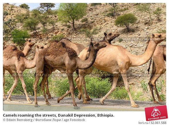 Camels roaming the streets, Danakil Depression, Ethiopia. Стоковое фото, фотограф Edwin Remsberg / age Fotostock / Фотобанк Лори