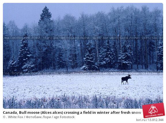Купить «Canada, Bull moose (Alces alces) crossing a field in winter after fresh snow », фото № 13812344, снято 29 января 2020 г. (c) age Fotostock / Фотобанк Лори