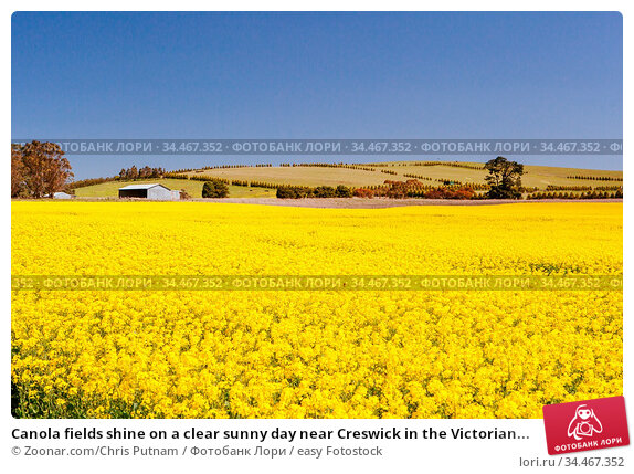 Canola fields shine on a clear sunny day near Creswick in the Victorian... Стоковое фото, фотограф Zoonar.com/Chris Putnam / easy Fotostock / Фотобанк Лори