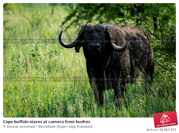 Cape buffalo stares at camera from bushes. Стоковое фото, фотограф Zoonar.com/nwd / easy Fotostock / Фотобанк Лори