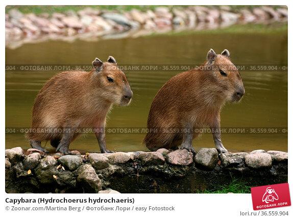 Capybara (Hydrochoerus hydrochaeris) Стоковое фото, фотограф Zoonar.com/Martina Berg / easy Fotostock / Фотобанк Лори