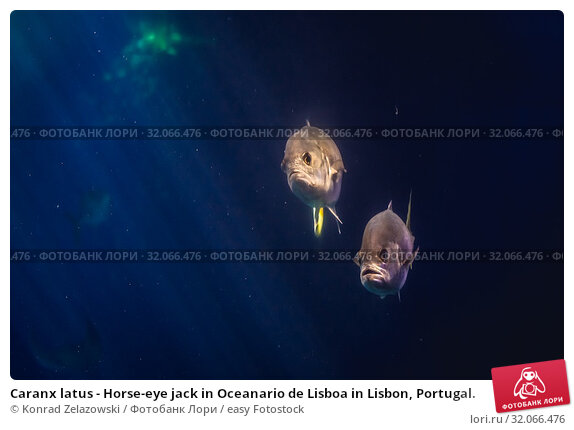Caranx latus - Horse-eye jack in Oceanario de Lisboa in Lisbon, Portugal. Стоковое фото, фотограф Konrad Zelazowski / easy Fotostock / Фотобанк Лори