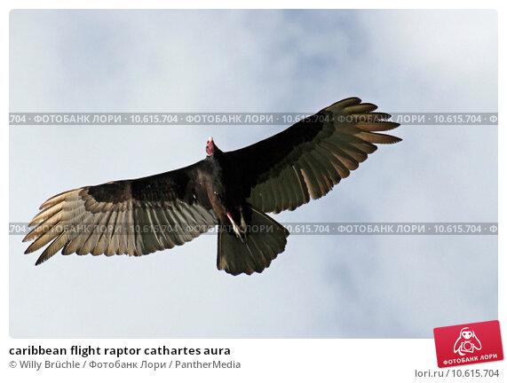 caribbean flight raptor cathartes aura. Стоковое фото, фотограф Willy Brüchle / PantherMedia / Фотобанк Лори