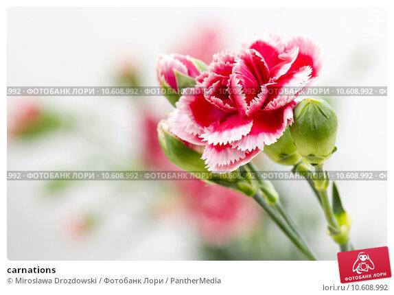 carnations. Стоковое фото, фотограф Miroslawa Drozdowski / PantherMedia / Фотобанк Лори