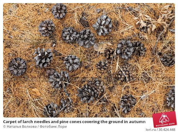 Купить «Carpet of larch needles and pine cones covering the ground in autumn», фото № 30424448, снято 17 марта 2019 г. (c) Наталья Волкова / Фотобанк Лори