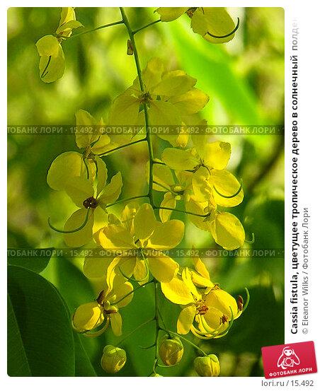 Cassia fistula, цветущее тропическое дерево в солнечный  полдень. Австралия, сухой сезон. , фото № 15492, снято 9 декабря 2006 г. (c) Eleanor Wilks / Фотобанк Лори